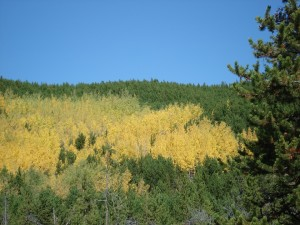 Fall colors, aspen trees in Colorado